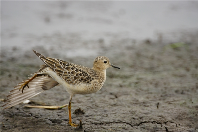 コモンシギ,Buff-berasted Sandpiper