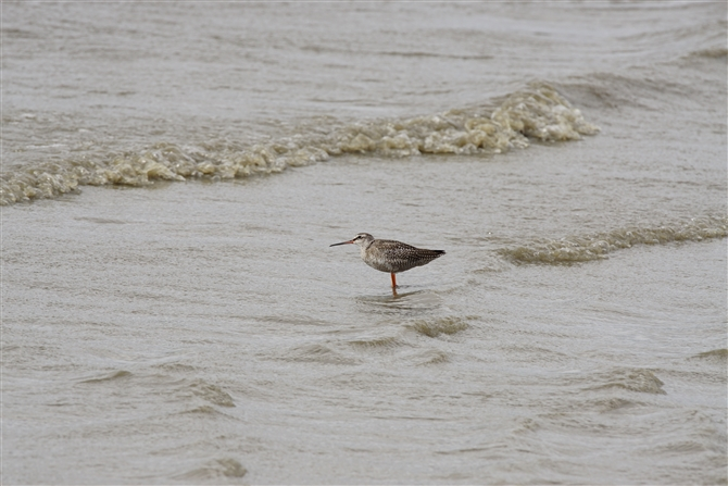 ツルシギ,Spotted Redshank