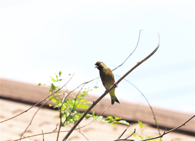 カワラヒワ,Oriental Greenfinch