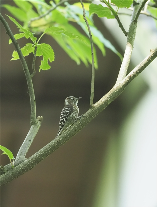 コゲラ,Japanese Pigmy Woodpecker