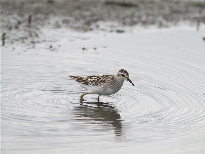 ヒバリシギ,Long-toed Stint