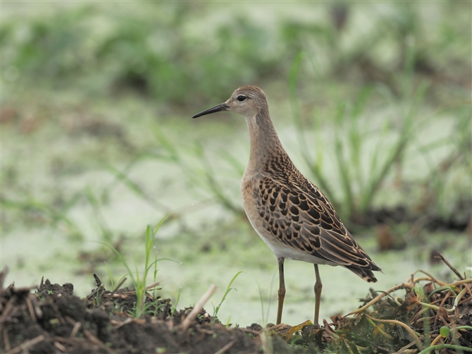 ウズラシギ,Sharp-tailed Sandpiper